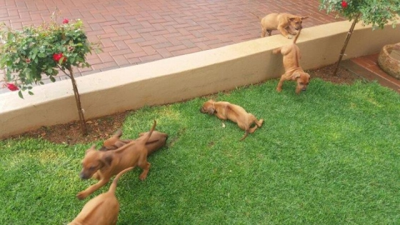 Purebred Rhodesian Ridgeback puppies available