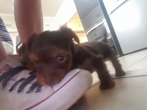 Miniture chocolate yorkie pup