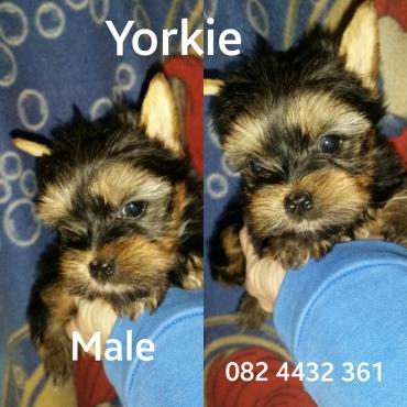 Yorkshire Terrier pocket boys