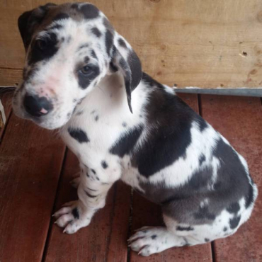 Adorable Great Dane Puppies