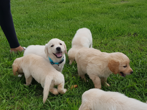 Golden Retriever Labrador puppies for sale