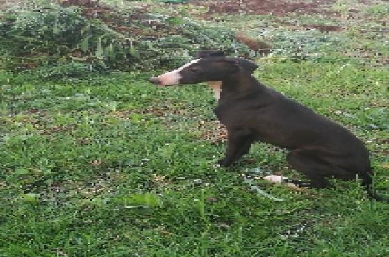 Italian Greyhound Kusa registered