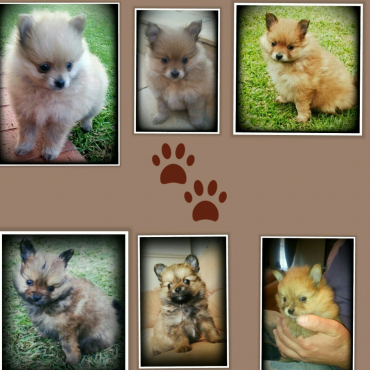 Extra miniature Toypom male puppies
