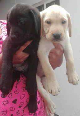 Beautiful purebred Labrador puppies for sale