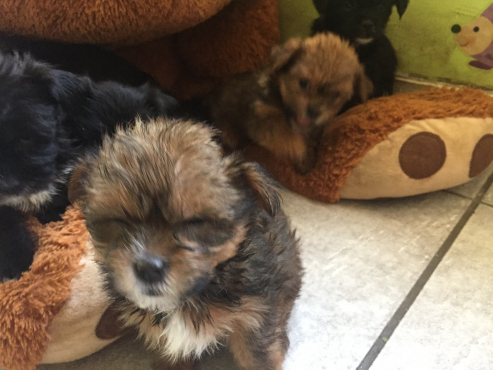 Yorkie Crossed with Shih Tzu puppies