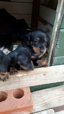 Miniature Daschund Puppies