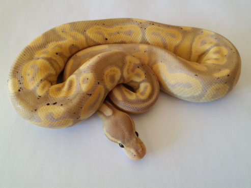 Coral Glow Black Pastel Ball Python Male