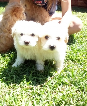 Maltese Poodle puppie