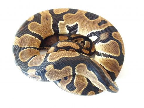 66% Possible Het VPI Axanthic Ball Python Female