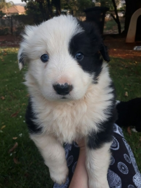 Border collie puppies for sale.