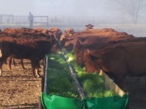Organic Cattle Feed