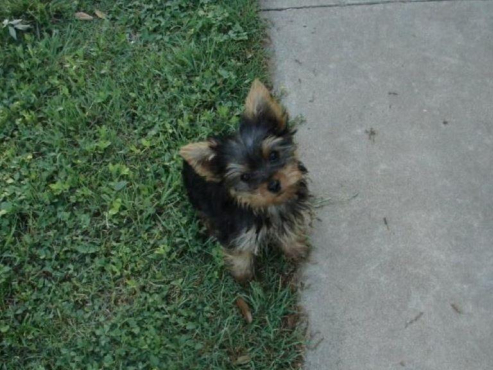 Unique well-bred Yorkie Puppies