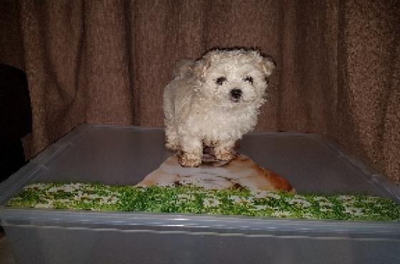 Mini Maltese poodle baby boy