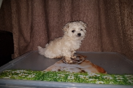 Mini Maltese poodle baby boy