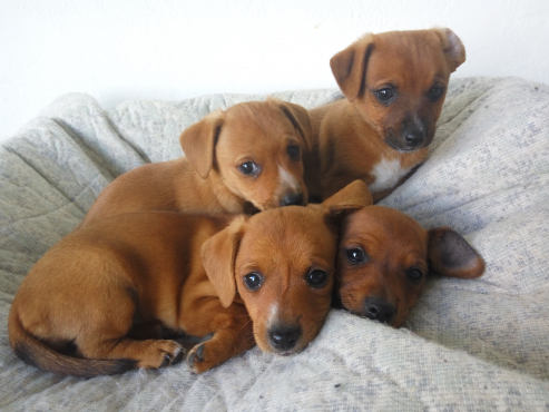 Four Dachshund Puppies For Sale