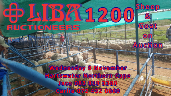 1200 Goats and sheep on auction