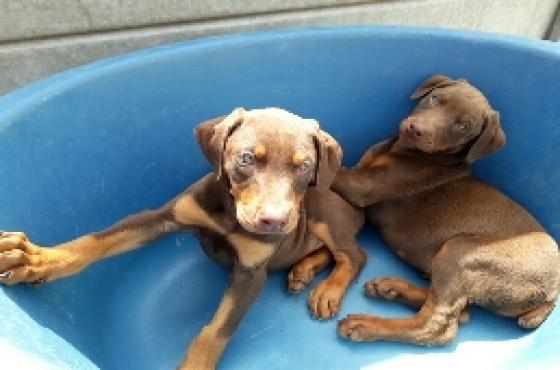 Doberman pincher pups