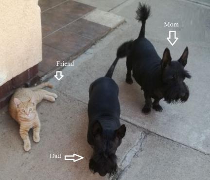 Purebred Scottish Terrier puppies