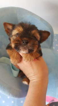 Yorkshire terrier boys For Sale