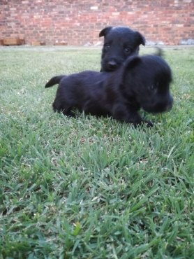 Purebred Scottish Terrier puppies