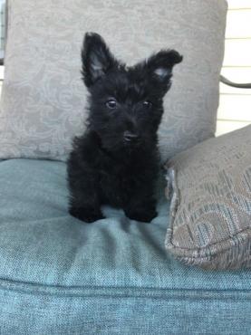 Scottish Terrier Puppies- 8 weeks old