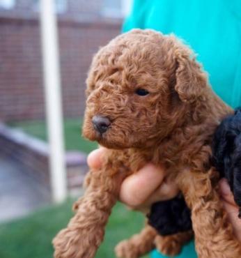 4 Toy Poodle Pups Registered