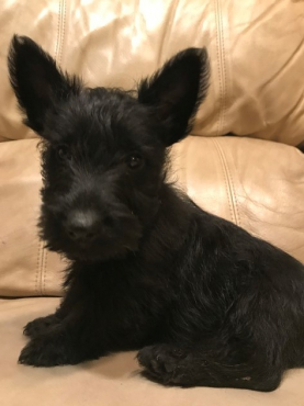 Scottish Terrier Puppies- 8 weeks old