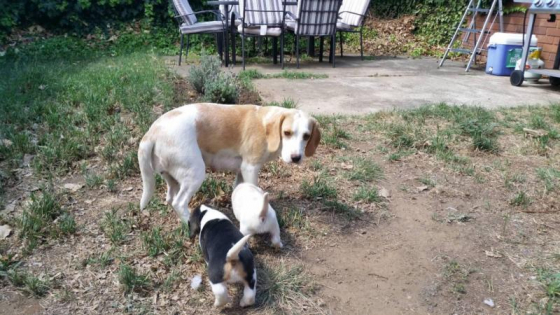 Purebred Beagle Puppies - 4 puppies left
