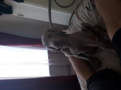 9 week old male Weimaraner puppy