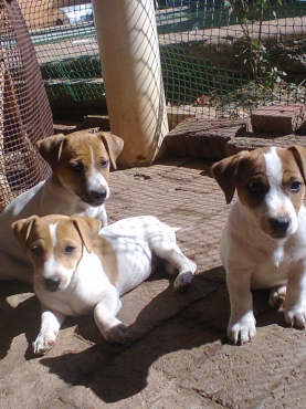Jack  Russell 8 weeks pure breed  puppies for sale from R999