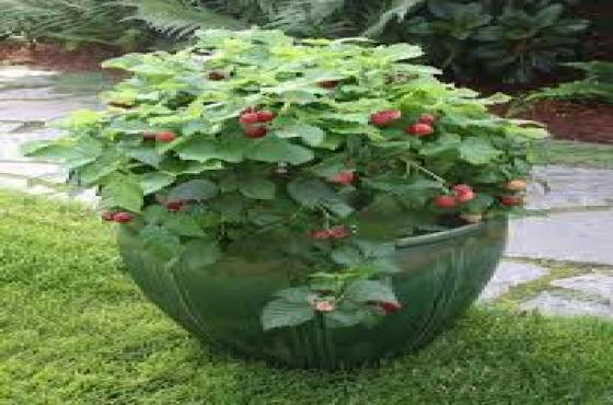 Berry plants- Blueberries, blackberry, goji berry, raspberries, currents, etc