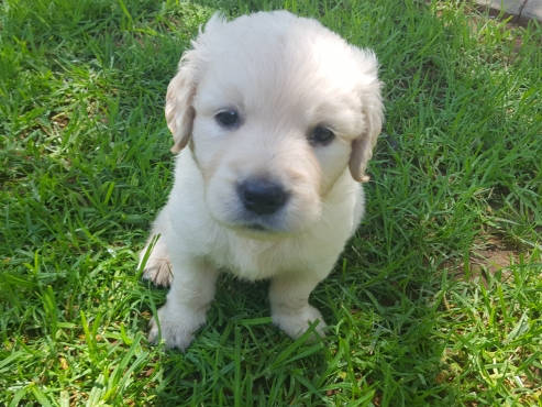 Golden Retriever Puppies for Sale | Junk Mail