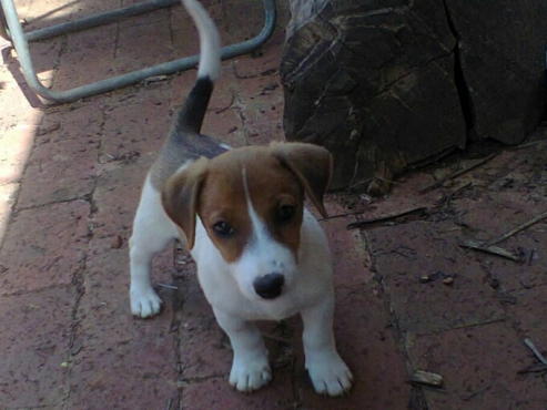 Jack Russell thorough breed short leg puppies from R1950