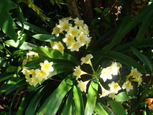 PLANTUITVERKOPING;CLIVIAS R25/R35