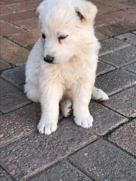 White Alsation Puppies