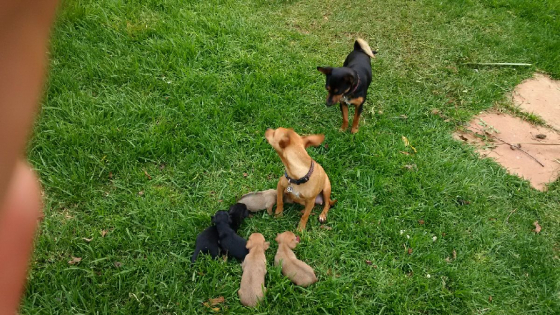 Minuture Doberman pups