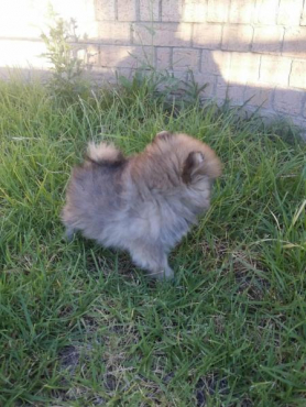 2 Pomeranian puppies for sale, ( purebred )