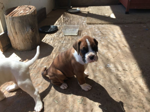 Purebred Boxer Puppies