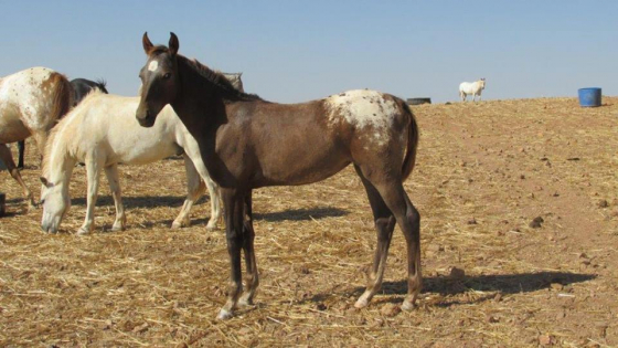 Registered Appaloosa Mare & Youngstock for sale