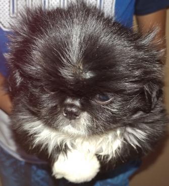 Pekingese Puppies for sale - miniature