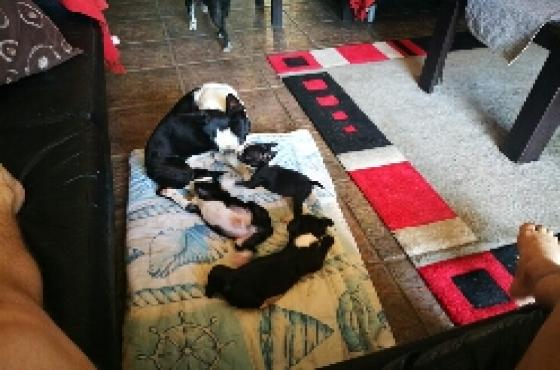Opregte Boston Terrier Baba Hondjies