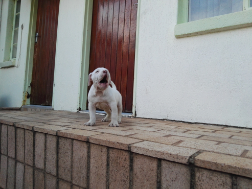 American buldog male pup