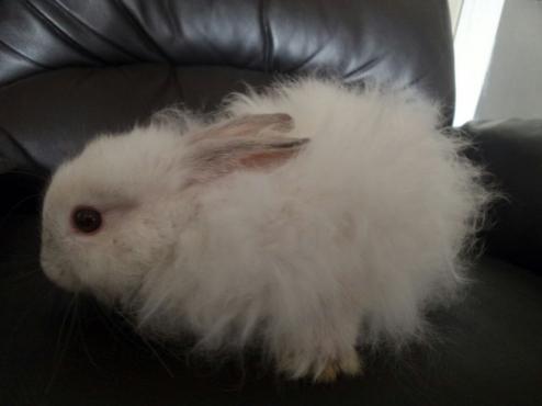angora dwarf (jersey wooly) rabbits