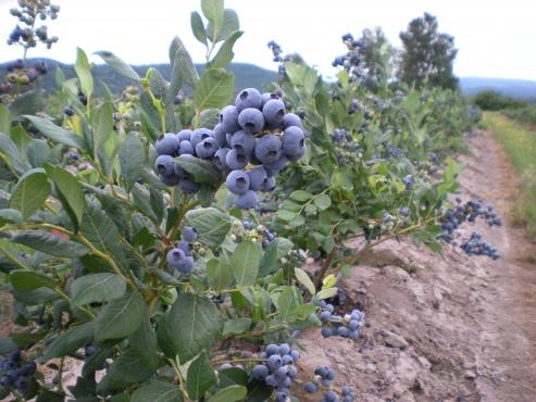 Berry plants- Blueberry, blackberries, goji berry, raspberries, aronia berry, etc