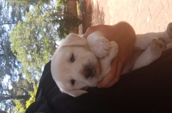 Golden Retriever cross Labrador puppies