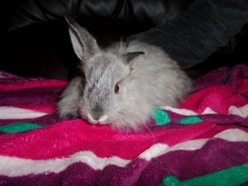 angora dwarf (jersey wooly) rabbits for sale
