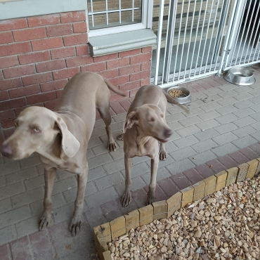 Silver weimaraner pups available