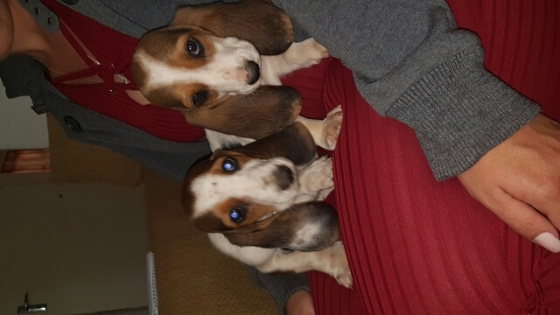 Beagle cross Basset puppies