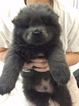 Chow Chow Puppies Now Ready! (12 weeks Old )