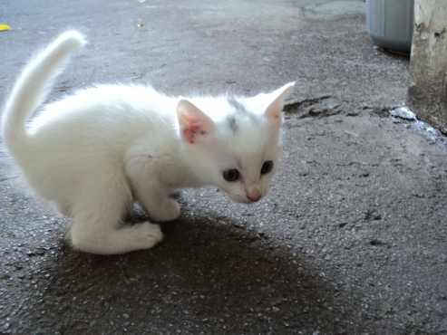 small little male Kitten